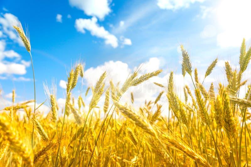 Campo di frumento Orecchie della fine dorata del grano su Fondo delle orecchie di maturazione del giacimento di grano del prato C fotografia stock libera da diritti