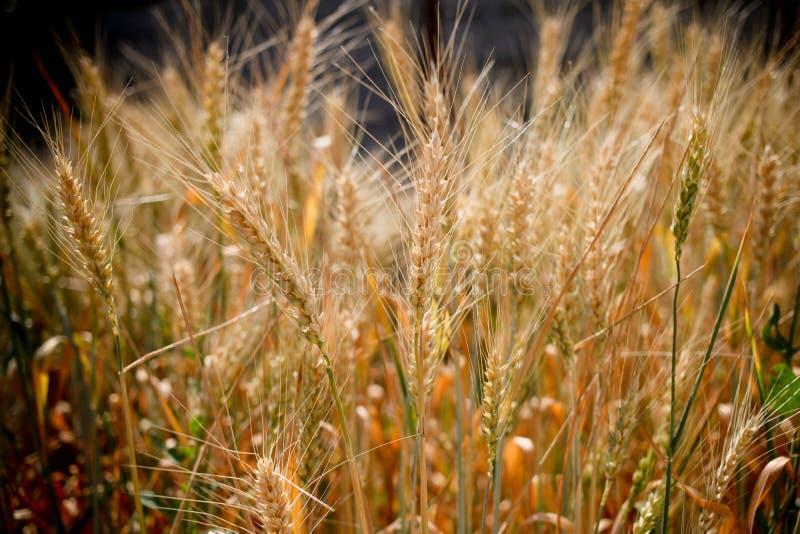 Campo di frumento Orecchie della fine dorata del grano su Paesaggio rurale nell'ambito di luce solare brillante Fondo delle orecc fotografia stock