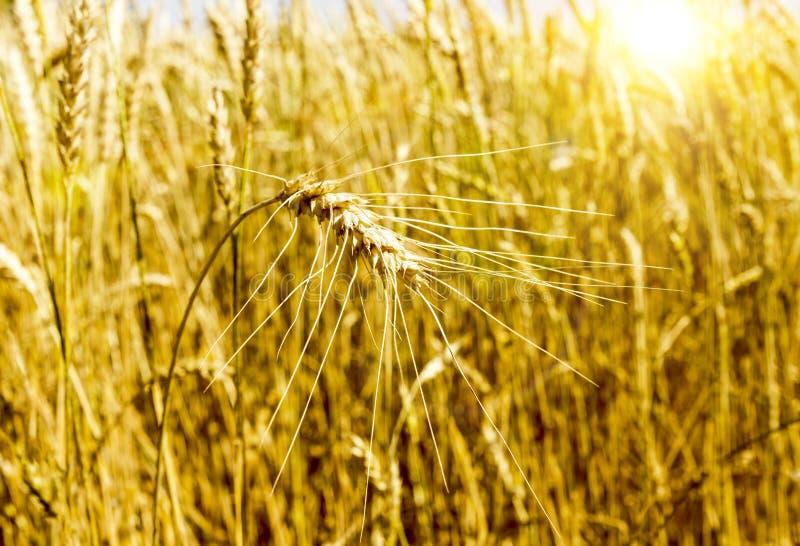 Campo di frumento orecchio agroindustria del raccolto fotografie stock libere da diritti