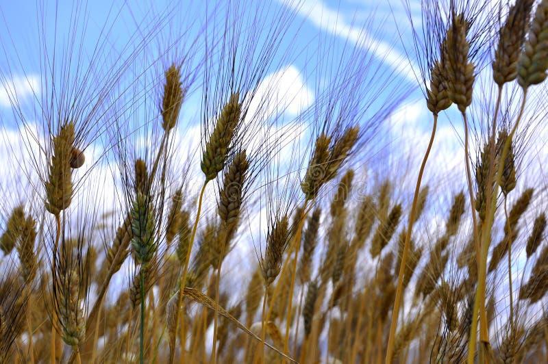 Campo di frumento organico   fotografie stock libere da diritti