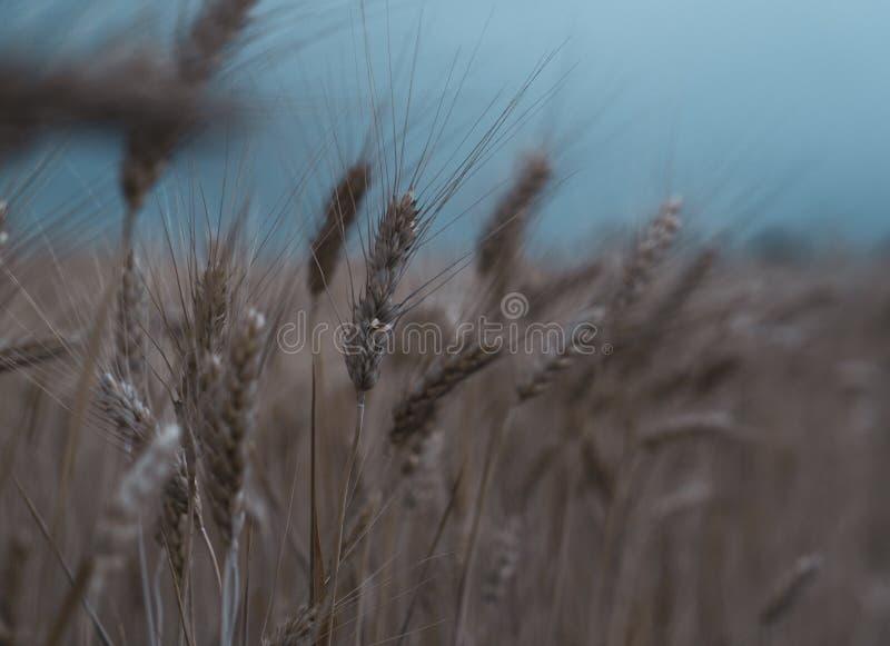 Campo di frumento Primo piano ora legale del tempo tempestoso fotografia stock libera da diritti