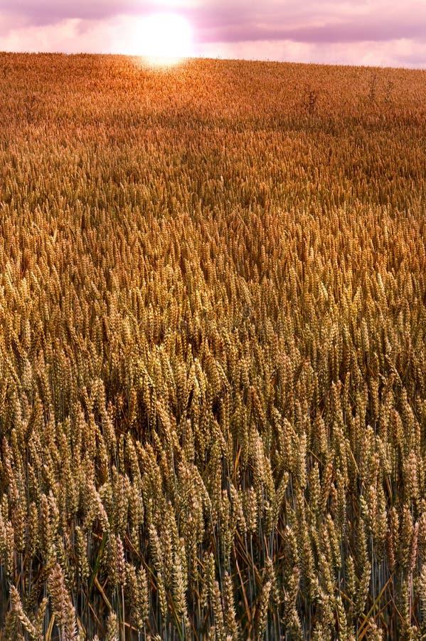 Campo di frumento (priorità bassa) immagine stock
