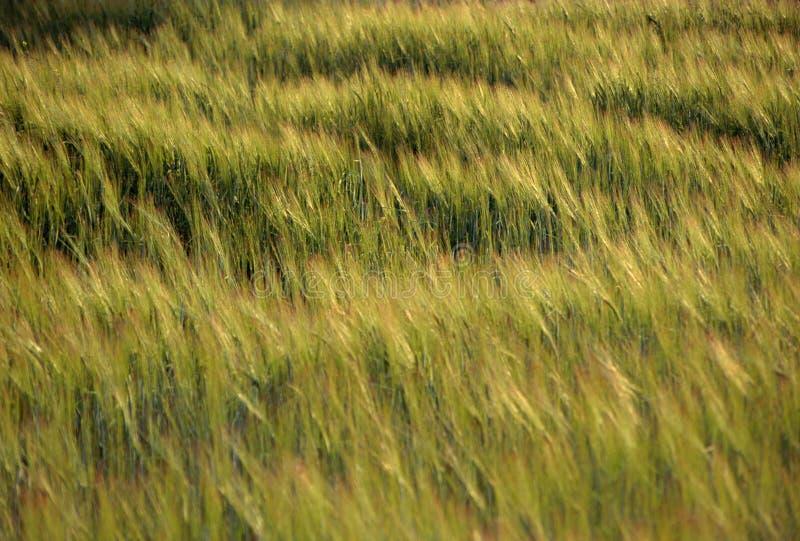 Campo di frumento saltato da vento al tramonto fotografia stock