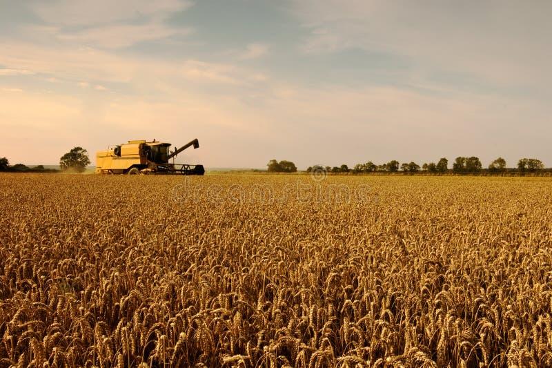 Campo di frumento, tempo di raccolta. immagine stock