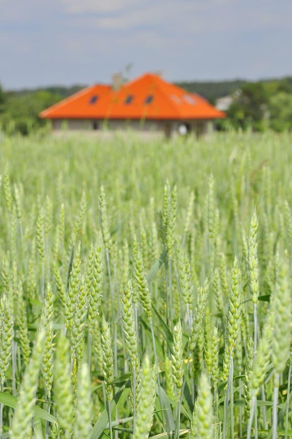 Campo di frumento verde con una casa immagine stock libera da diritti