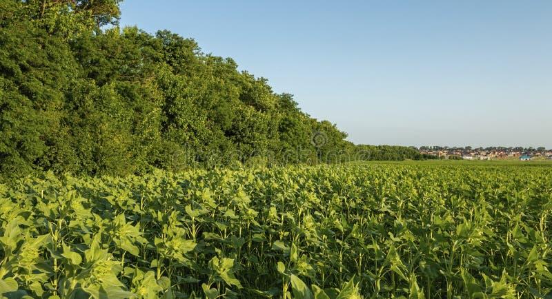 Campo di giovani piante verdi del girasole fotografie stock libere da diritti