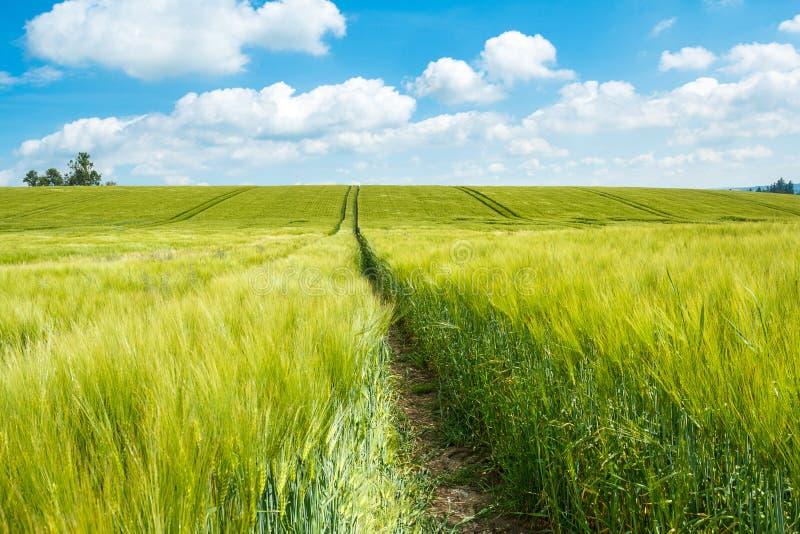 Campo di grani verde organico della molla immagine stock libera da diritti