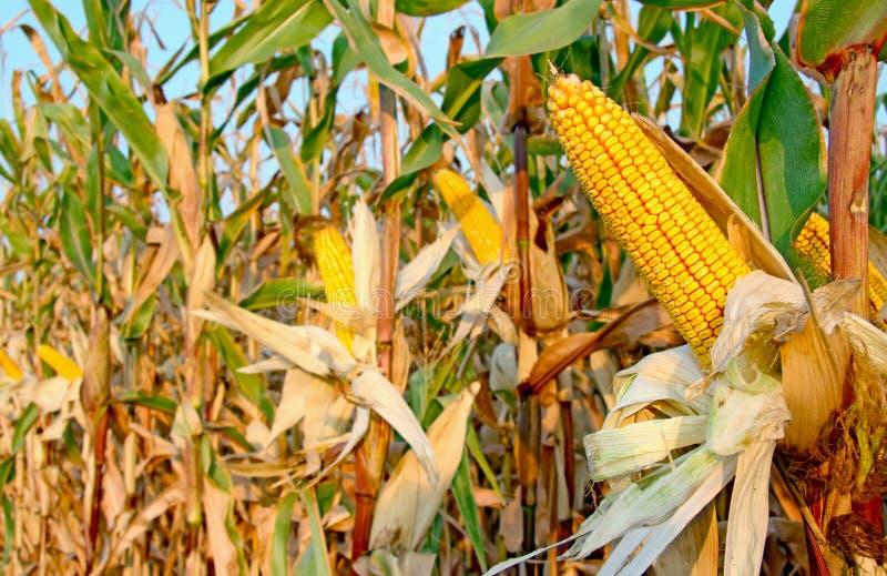Campo di grano fotografia stock