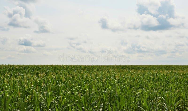 Campo di grano all'orizzonte immagini stock libere da diritti