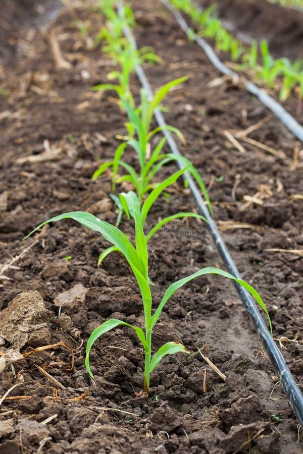 Campo di grano che cresce con l'irrigazione a goccia fotografia stock libera da diritti
