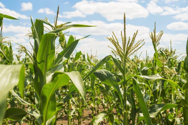 Campo di grano contro cielo blu in sole fotografia stock libera da diritti
