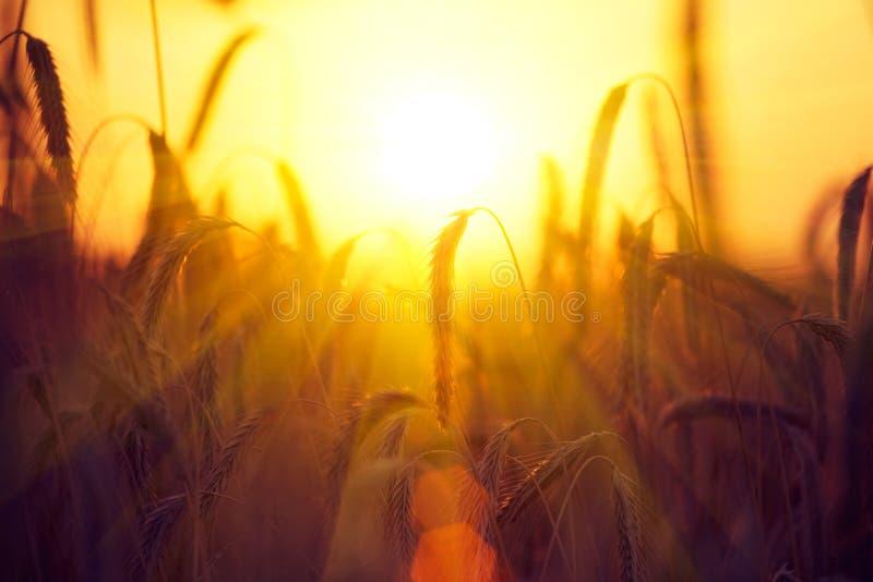 Campo di grano dorato asciutto raccolta fotografie stock libere da diritti