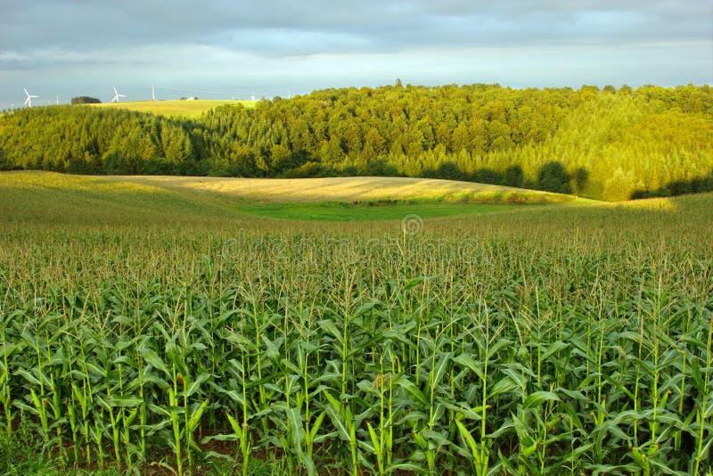 Campo di grano nel lato del paese fotografia stock libera da diritti