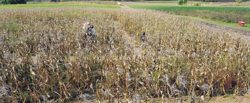 Campo di grano di Ontario immagine stock libera da diritti