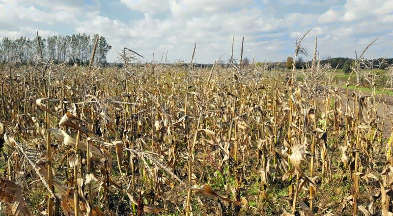 Campo di grano di Ontario fotografie stock libere da diritti