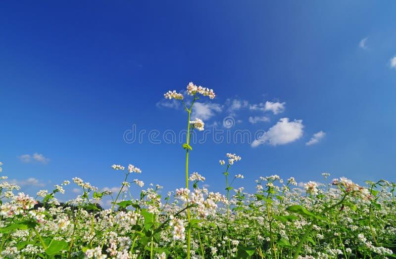 Campo di grano saraceno fotografia stock