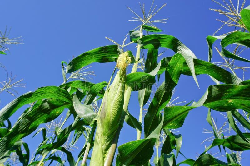 Campo di grano verde con cielo blu immagini stock