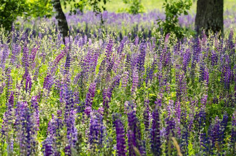 Campo di lupino Gran-leaved di fioritura immagine stock