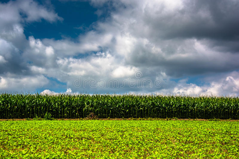 Campo di mais in Carroll County rurale, Maryland fotografia stock