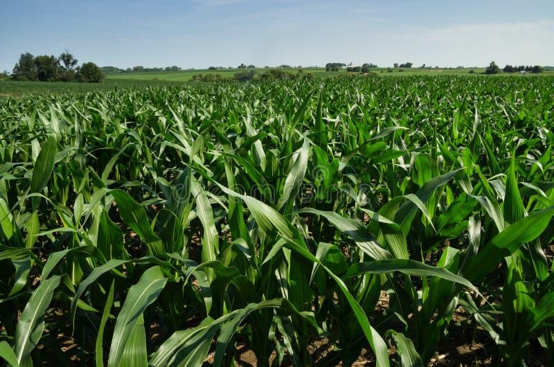 Campo di mais dello Iowa fotografia stock