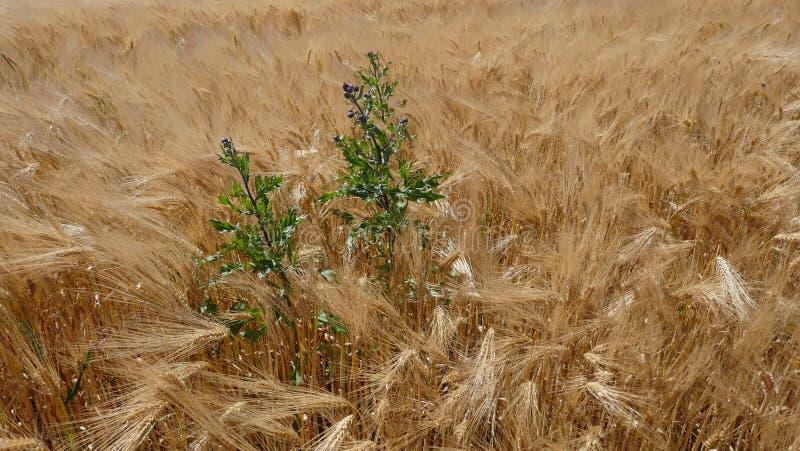 Campo di mais nel vento, orzo, segale, grano, con un primo piano di cirsium arvense del campo-cardo selvatico, struttura, fondo fotografia stock