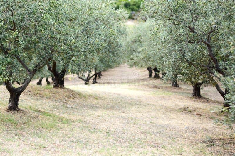 Campo di olivi in Grecia, Halkidiki, paesaggio Mediterraneo fotografie stock libere da diritti