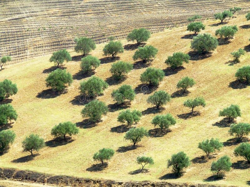 Campo di olivo fotografia stock