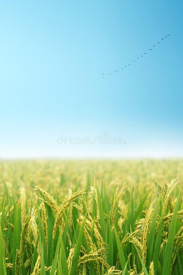 Campo di risaia in autunno immagini stock libere da diritti
