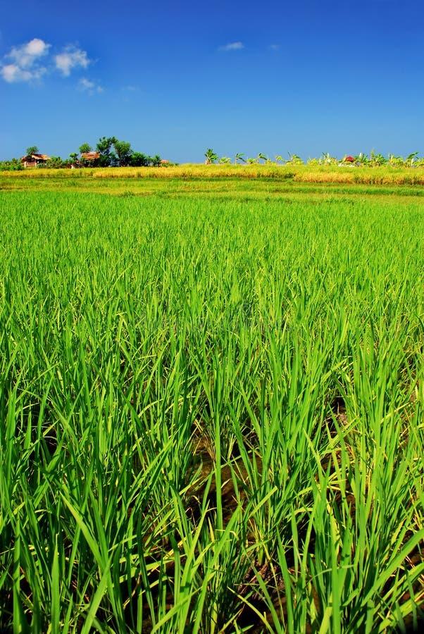 Campo di risaia verde immagini stock libere da diritti