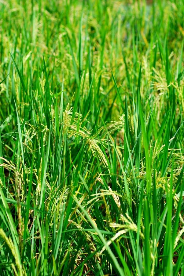 Campo di risaia verde fotografia stock