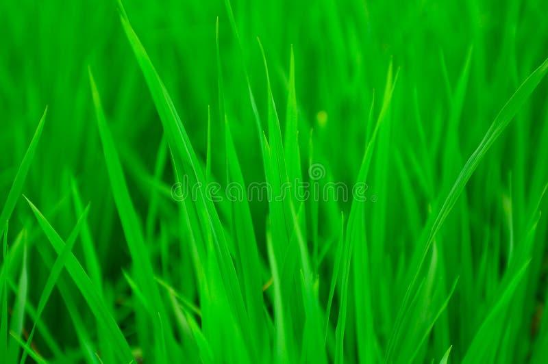 Campo di risaia verde immagine stock