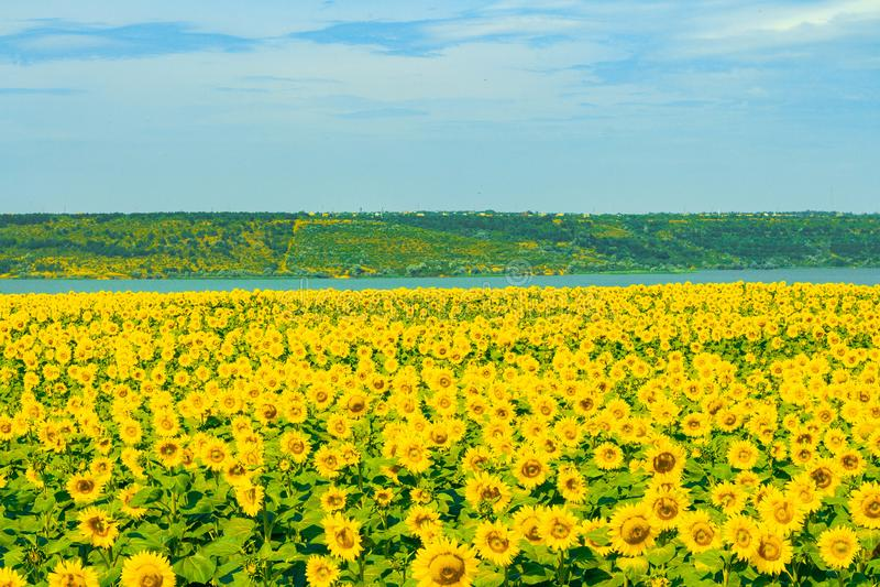 Campo di Sunflowers immagine stock libera da diritti
