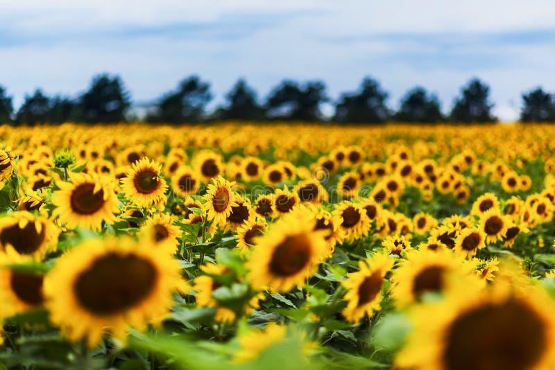 Campo di Sunflowers immagini stock
