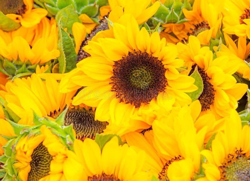 Campo di sunnflower giallo in un letto di fiore fotografia stock
