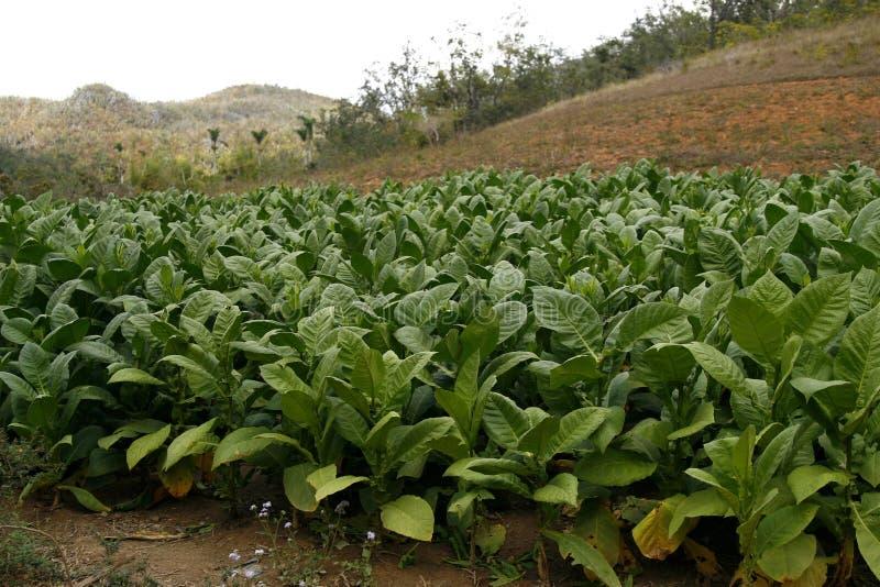 Campo di tabacco in una campagna di Vinales in Cuba fotografia stock