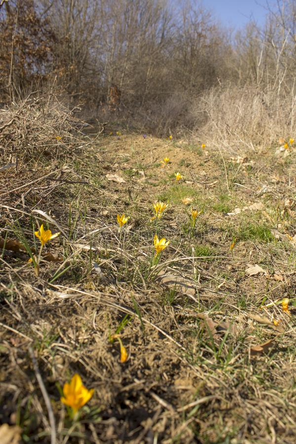 Campo do açafrão amarelo de florescência das flores da mola perto da floresta fotos de stock