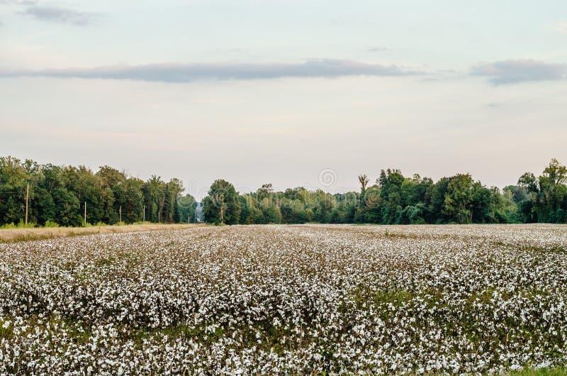 Campo do algodão imagem de stock royalty free