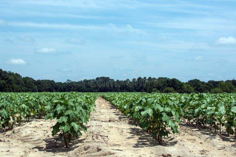 Campo do algodão das colheitas de fileira foto de stock