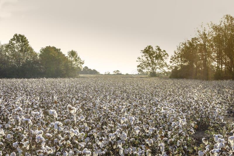 Campo do algodão durante a hora dourada fotos de stock