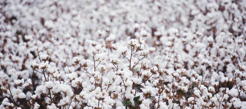 Campo do algodão em Oakey fotografia de stock