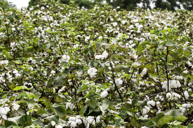 Campo do algodão em outubro imagem de stock