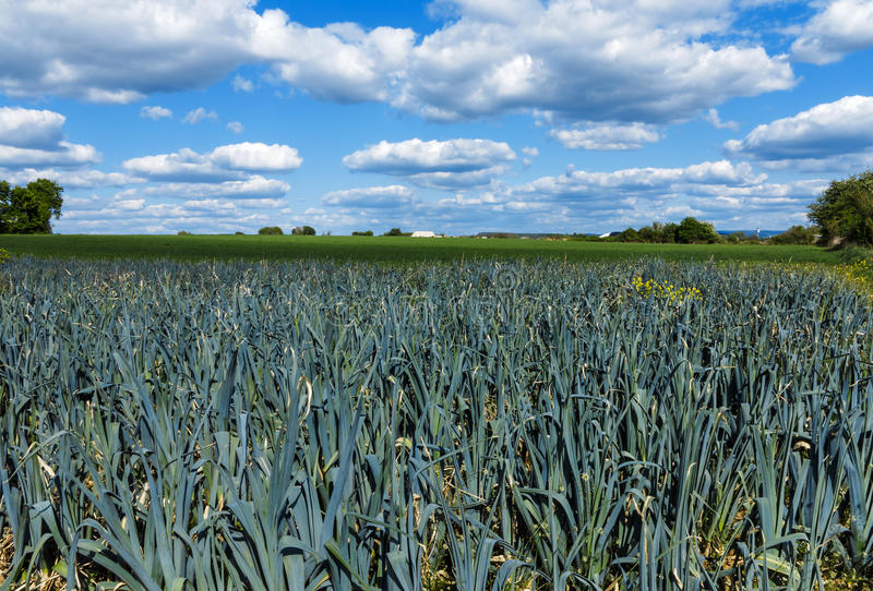 Campo do alho-porro e o céu azul imagens de stock
