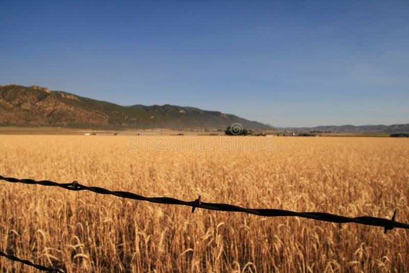 Campo do arame farpado e de trigo fotos de stock