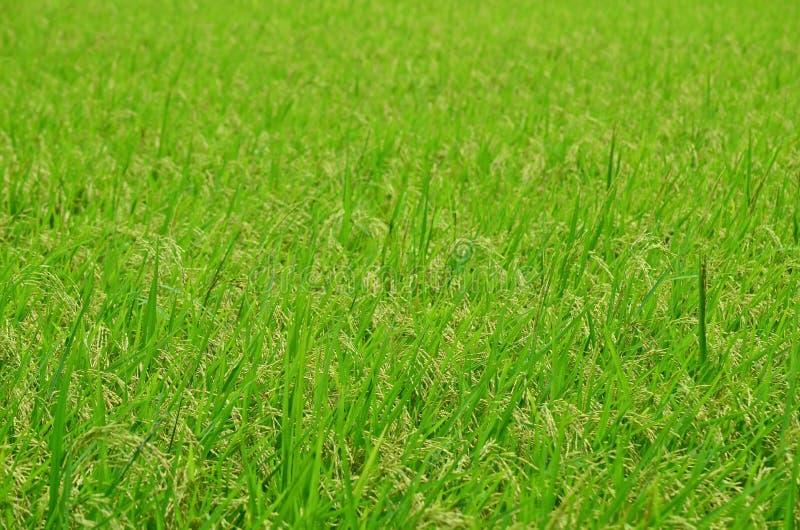 Download Campo do arroz foto de stock. Imagem de cultivar, agricultura - 26507866