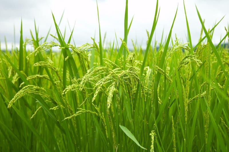 Campo do arroz imagem de stock royalty free
