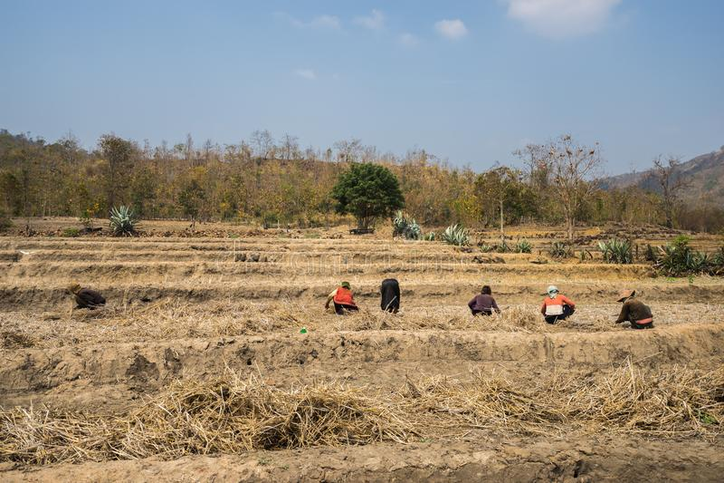 Campo do arroz afetado pela alta temperatura e pela seca contínuas raras, falha de colheita em Gia Lai, montanhas centrais de Vie imagens de stock royalty free