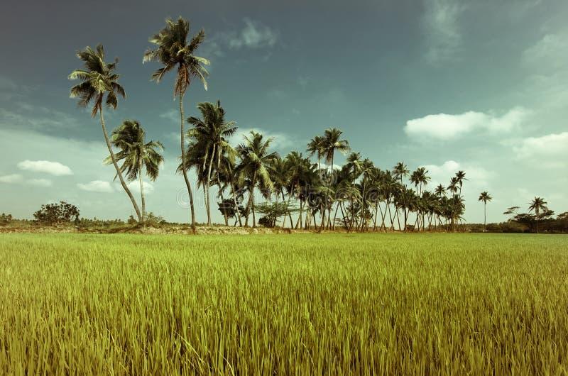 Campo do arroz com palmas de coco. Índia fotos de stock
