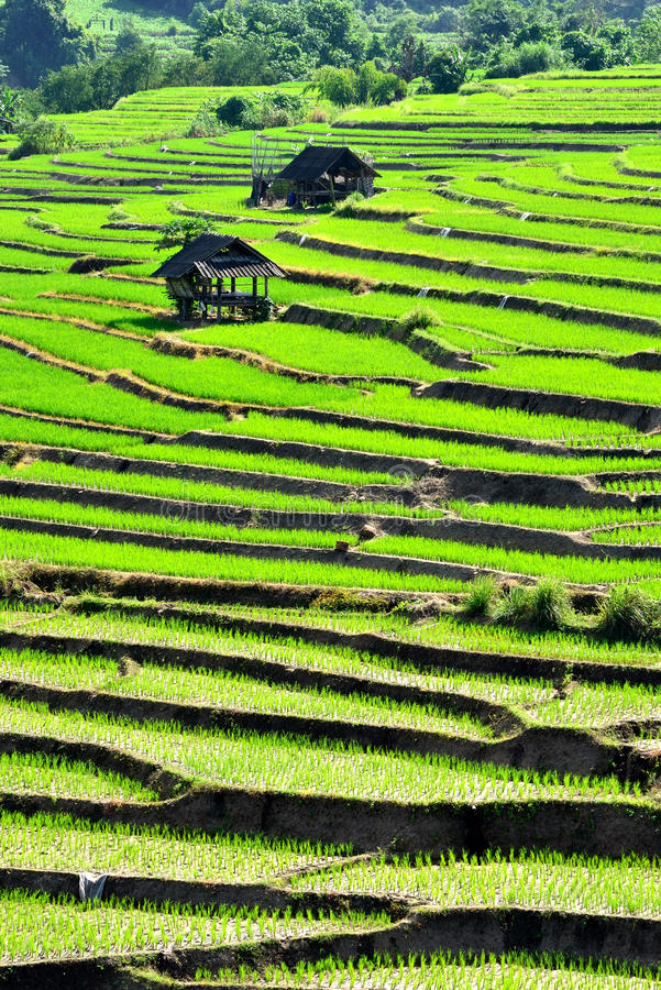 Campo do arroz da etapa imagens de stock