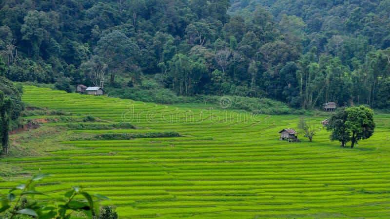 campo do arroz da etapa imagem de stock royalty free