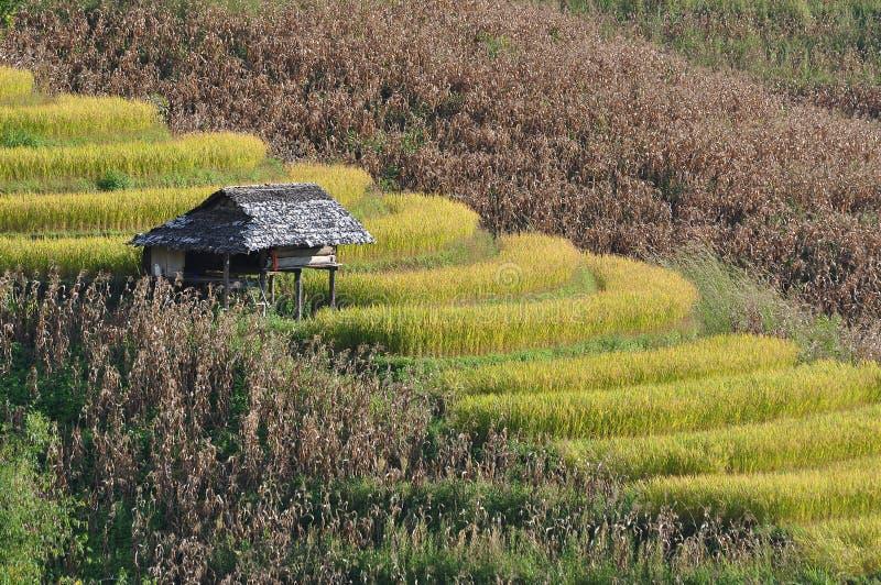Campo do arroz da etapa no monte foto de stock royalty free